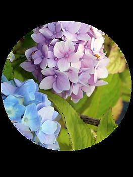Hydrangeas and shade plants at Farran Fams