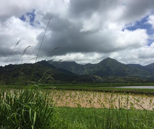 Tarot fields in Kauai, Hawai'i