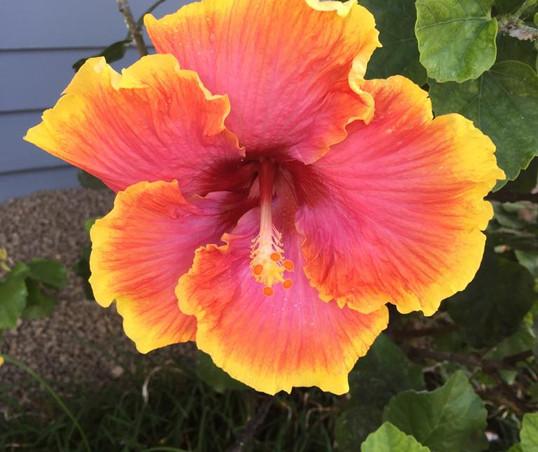 Hibiscus flower, Kauai, Hawai'i
