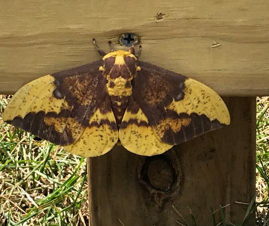 A dark morph imperial moth