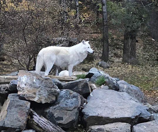 Arctic wolf at the Ely international wolf center
