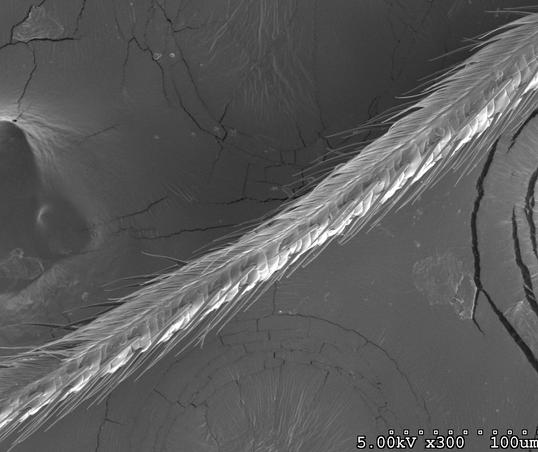Ichneumonid wasp ovipositor