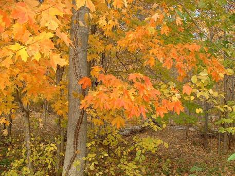 Maple in Fall.jpg