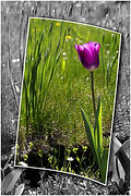 Benoit Mestrez_10175_ Une tulipe.jpg