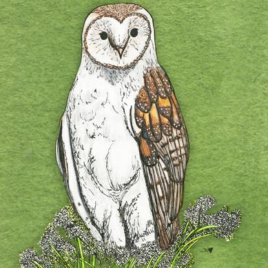 Barn Owl/Coruja das Torres