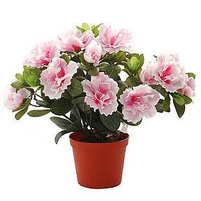 Азалия комнатный цветок купить в онлайн магазине