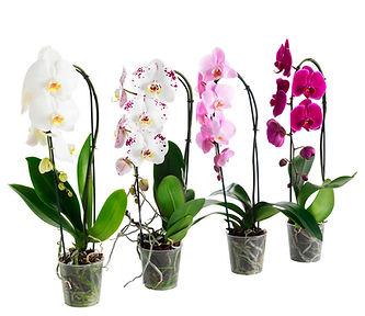 Орхидея фалеонопсис заказать в Ижевске с доставкой