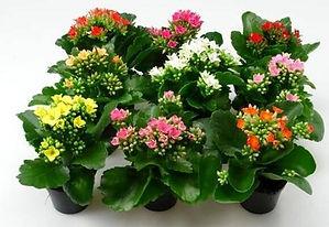 Каланхоэ комнатный цветок купить в Ижевске