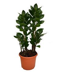 Замиокулькас долларовое дерево, лучший цветок для офиса купить в Ижевске