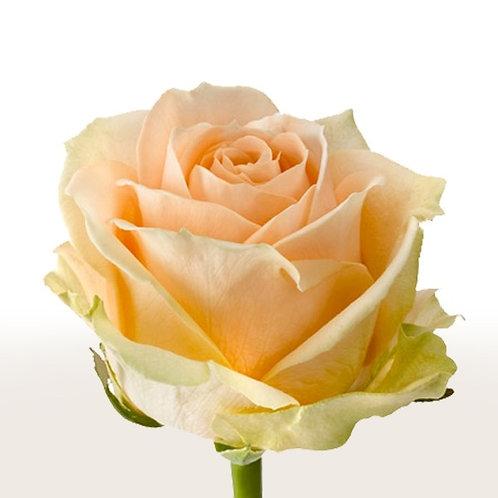 Роза пич аваланж