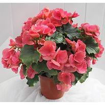 Бегония горшечный цветок купить в интернет магазине в Ижевске с доставкой