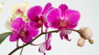 phalaenopsis1.jpg