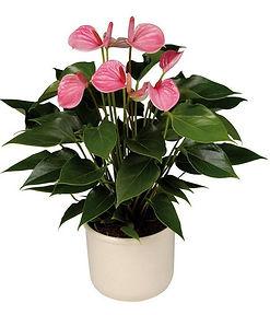 Антуриум комнатный цветок мужское счастье купить в Ижевске