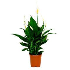 Спатифиллум цветок женское счастье купить в Ижевске с доставкой онлайн