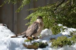 Winter Hawk