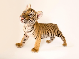 A Tiger's First Day