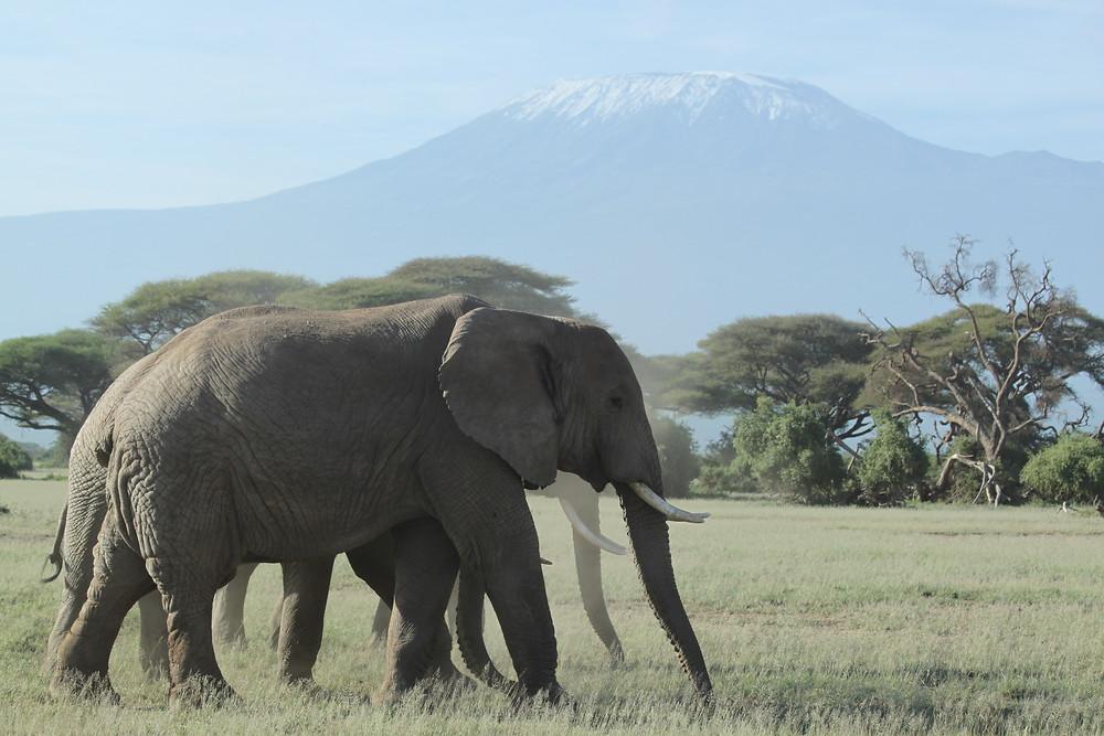 Elefant vor dem Kilimanjaro, dem höchsten Berg Afrikas.