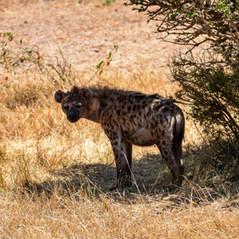 Hyäne in der Masai Mara  MAREFU Safaris Keniareisen