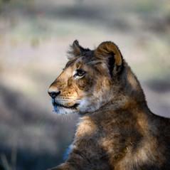 Löwen-Junges in der Masai Mara