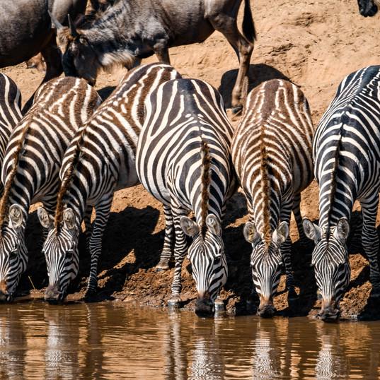 Zebras trinken am Mara River - Keniareisen