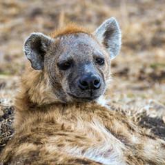 Hyäne Masai Mara   MAREFU Safaris Keniareisen