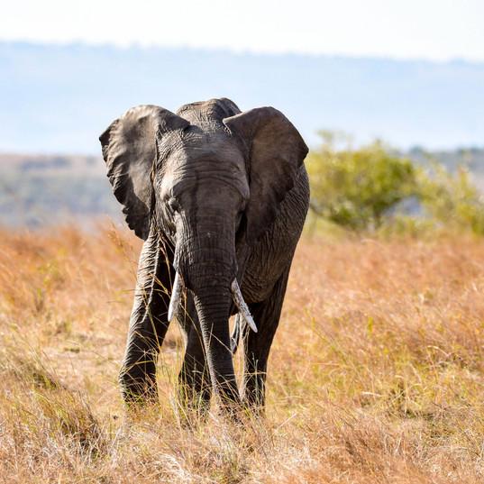 Elefant in der Masai Mara | MAREFU Safaris Keniareisen