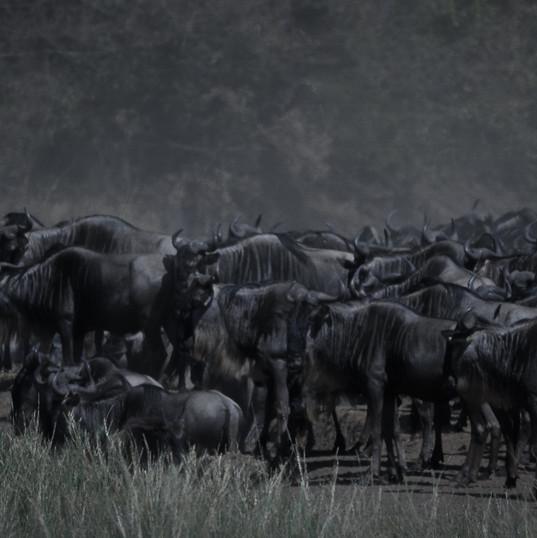 Gnus vor dem Mara-Crossing - Keniareisen