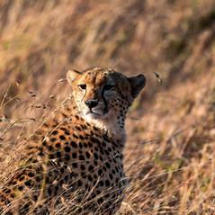 Ein Gepard in der Masai Mara   MAREFU Safaris Keniareisen