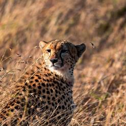 Ein Gepard in der Masai Mara | MAREFU Safaris Keniareisen