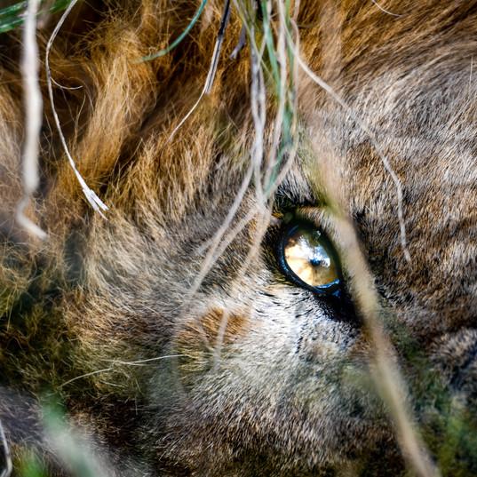 Auge des Löwen - König der Tiere