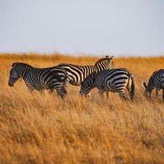 Zebra Masai Mara   MAREFU Safaris Keniareisen