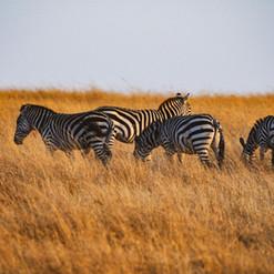 Zebra Masai Mara | MAREFU Safaris Keniareisen