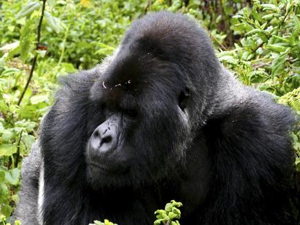 Tour Angebot: 3-Tages Gorilla Tracking in Ruanda