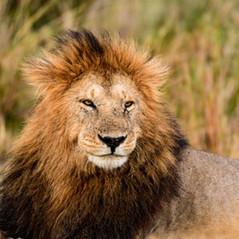 Löwe in der Savanne der Masai Mara - Keniasafari