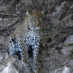 Leopard in Masai Mara   MAREFU Safaris Keniareisen