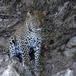 Leopard in Masai Mara | MAREFU Safaris Keniareisen