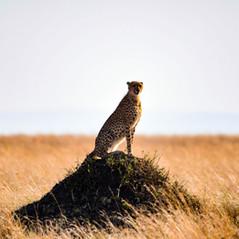 Gepardin Maleika   MAREFU Safaris Keniareisen
