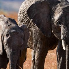 Elafantenkuh mit Nachwuchs   MAREFU Safaris Keniareisen