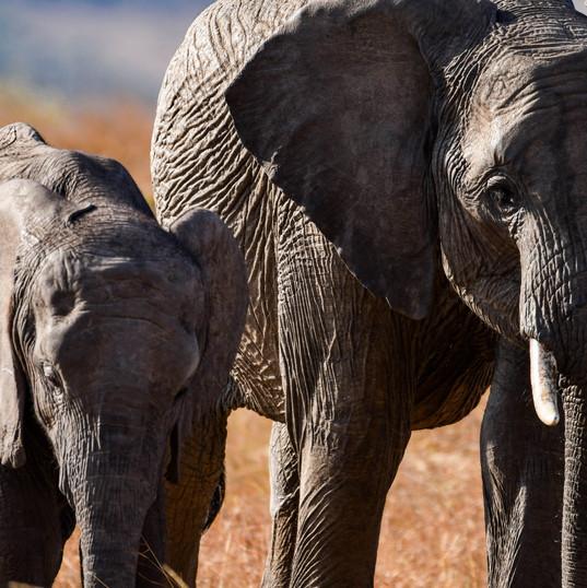 Elafantenkuh mit Nachwuchs | MAREFU Safaris Keniareisen