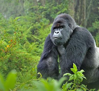 Gorilla 01.jpg