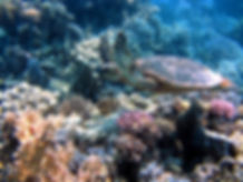 hawksbill flying - F.jpg