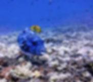 blue puffer - F, I.jpg