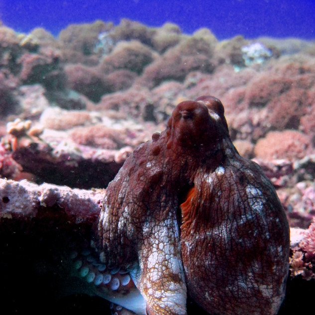 Octopus - F.jpg
