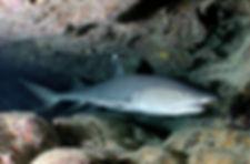 reef shark - F, I.jpg