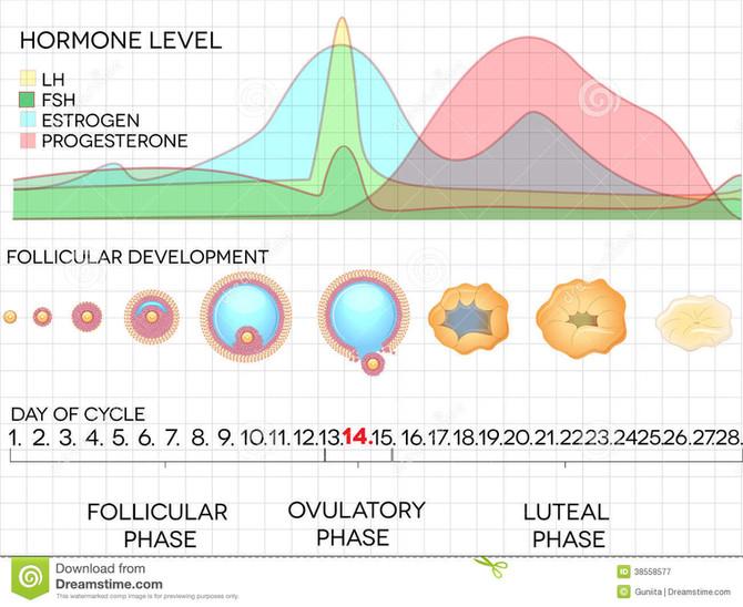 Força e fadiga durante o ciclo menstrual