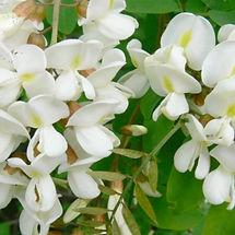 fleur de néroli