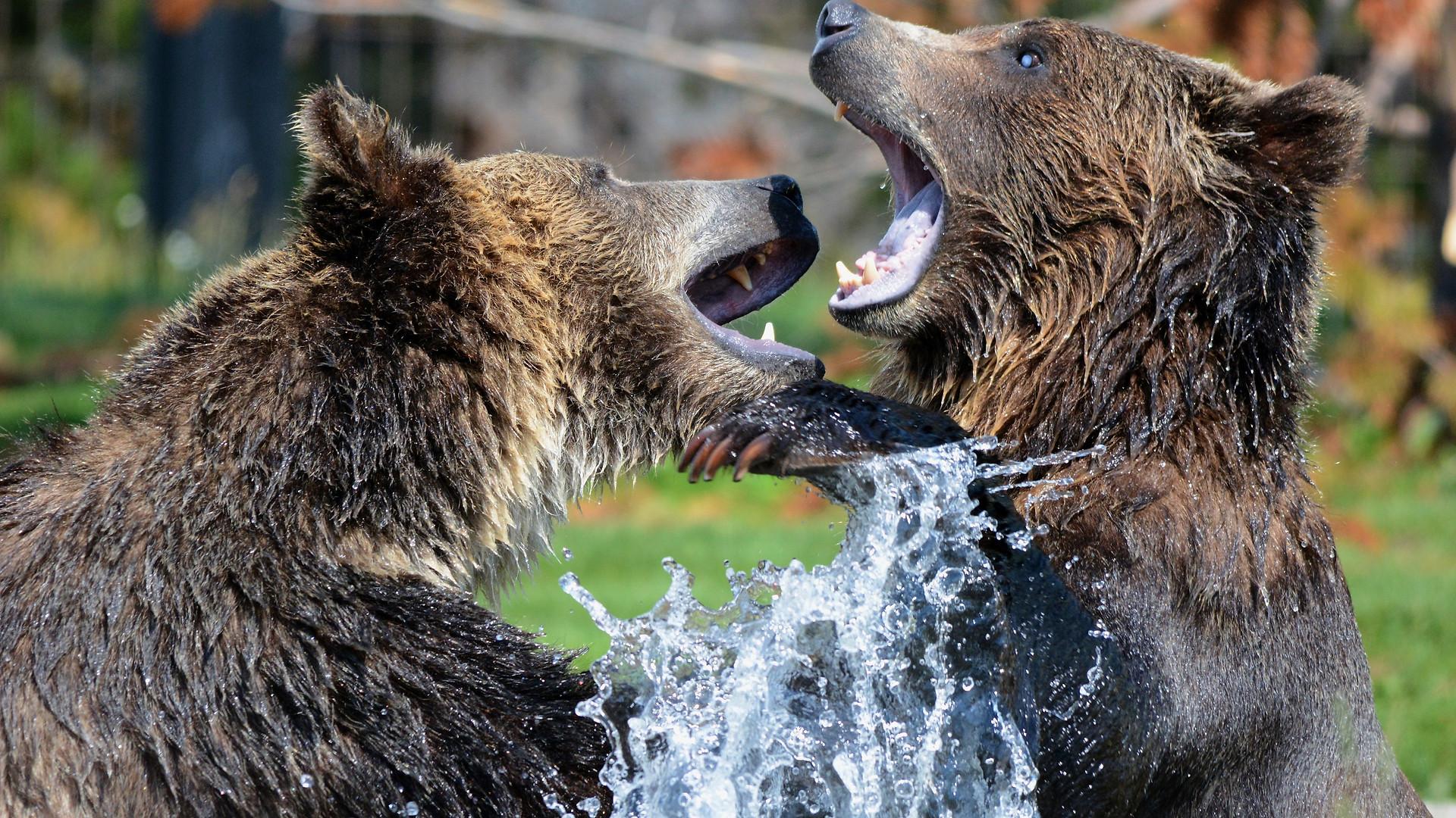 DuelingGrizzlyBears.jpg