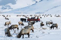 Elk Sleigh Ride