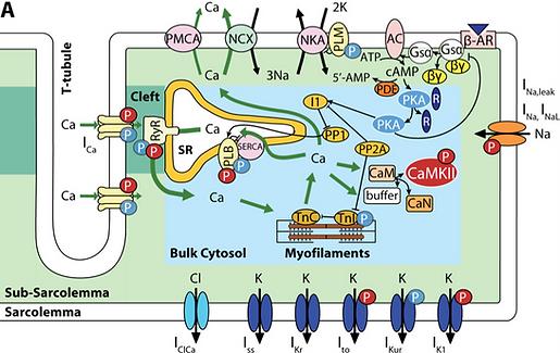Ventricular cell models | grandilab