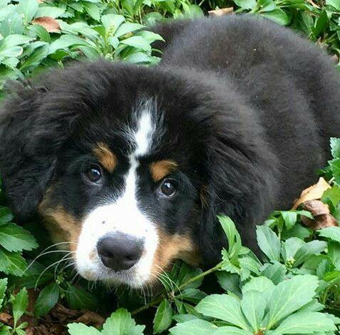 Binx-Male puppy